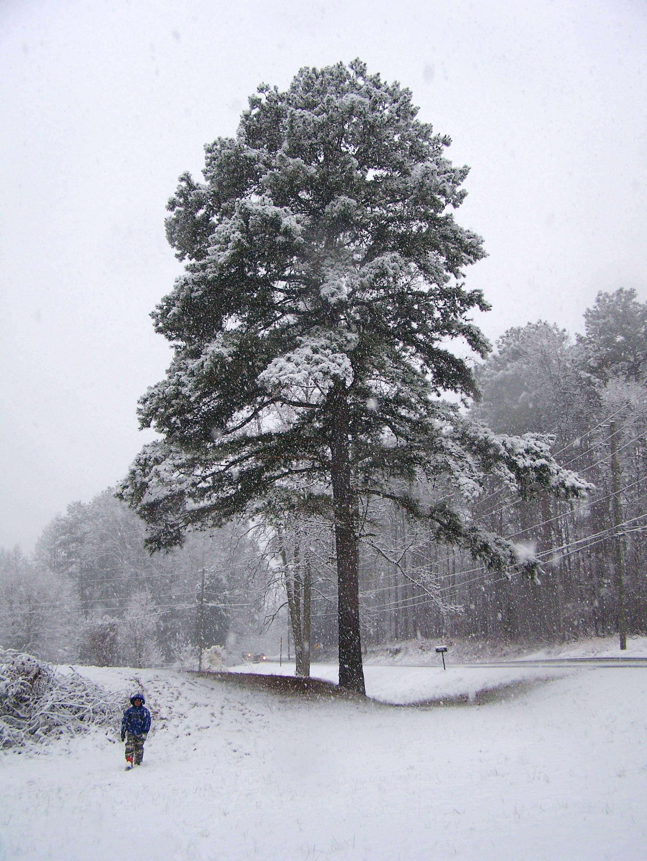 Outdoor hour nature close to home pine tree theonething - Images of pine trees in snow ...